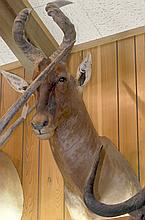 TAXIDERMY: CAPE HARTEBEEST - Shoulder mount