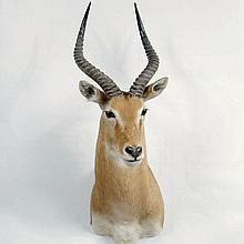 TAXIDERMY: UGANDAN KOB - Shoulder mount male. Condition good. 20th century. 40
