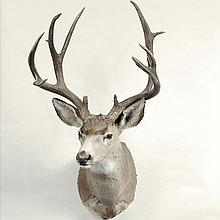 TAXIDERMY: MEXICAN MULE DEER - Shoulder mount buck. Condition good. 20th century. 45