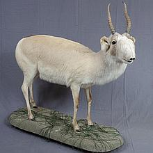 TAXIDERMY: RUSSIAN WHITE SAIGA ANTELOPE - Extremely rare full mount male on environmental museum stand, taken in Kazakhstan, NOW PRO...