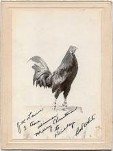 Cabinet card of a champion cock fighting rooster