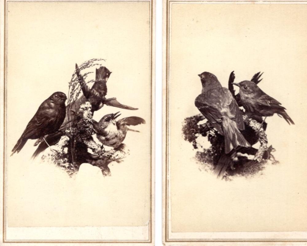 Taxidermy birds CDVs