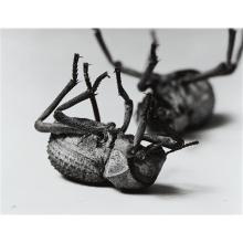 CHRISTOPHER WILLIAMS - Tenebrionidae Asbolus verrucosus Death Feigning Beetle Silverlake, California October 1, 1996