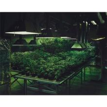 TARYN SIMON - Research Marijuana Crop Grow Room, National Center for Natural Products Research, Oxford, Mississippi from An American Index of the Hidden and Unfamiliar, 2005/2007