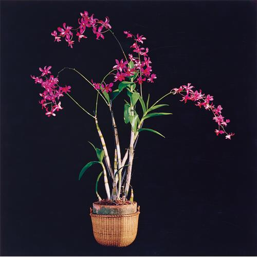 ROBERT MAPPLETHORPE - Orchids, 1989