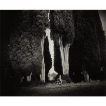SALLY MANN - Sempervirens 'Stricta', 1995