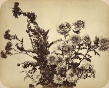 Adolphe Braun: Floral Arrangement of Chrysanthemums, c. 1856, albumen print from wet plate negative