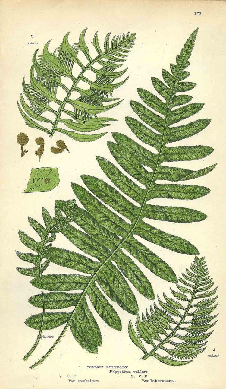 Polypodium Vulgare V