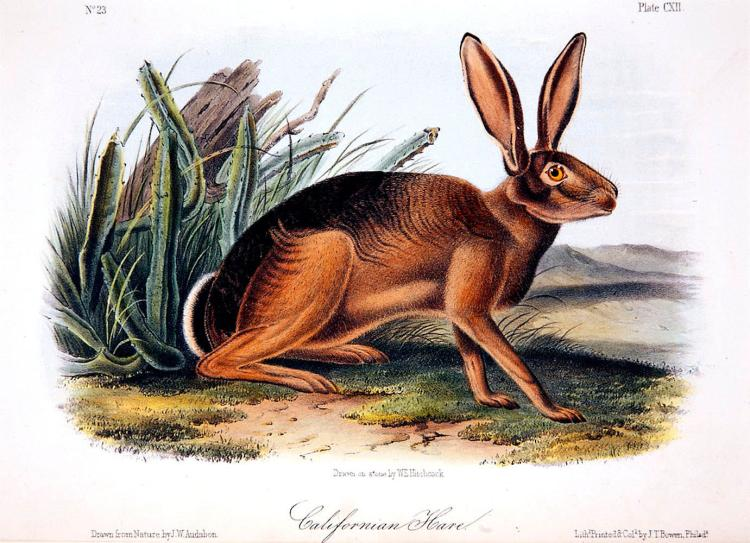 California Hare by John J. Audubon