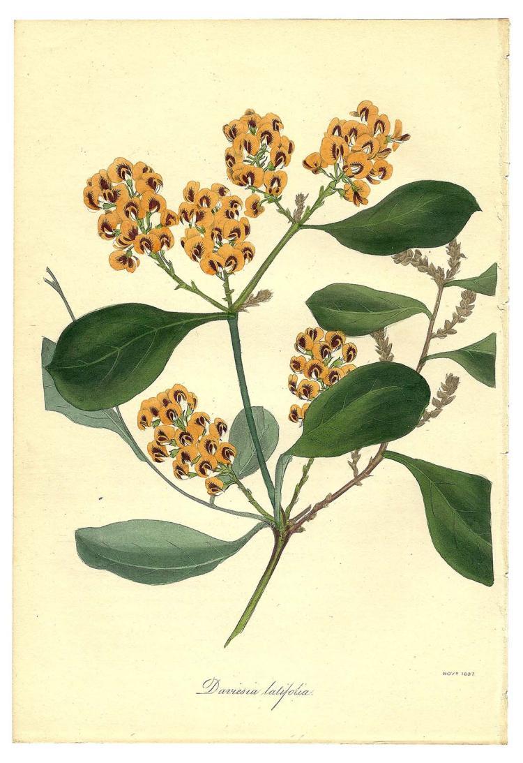 Daviesia Latifolia