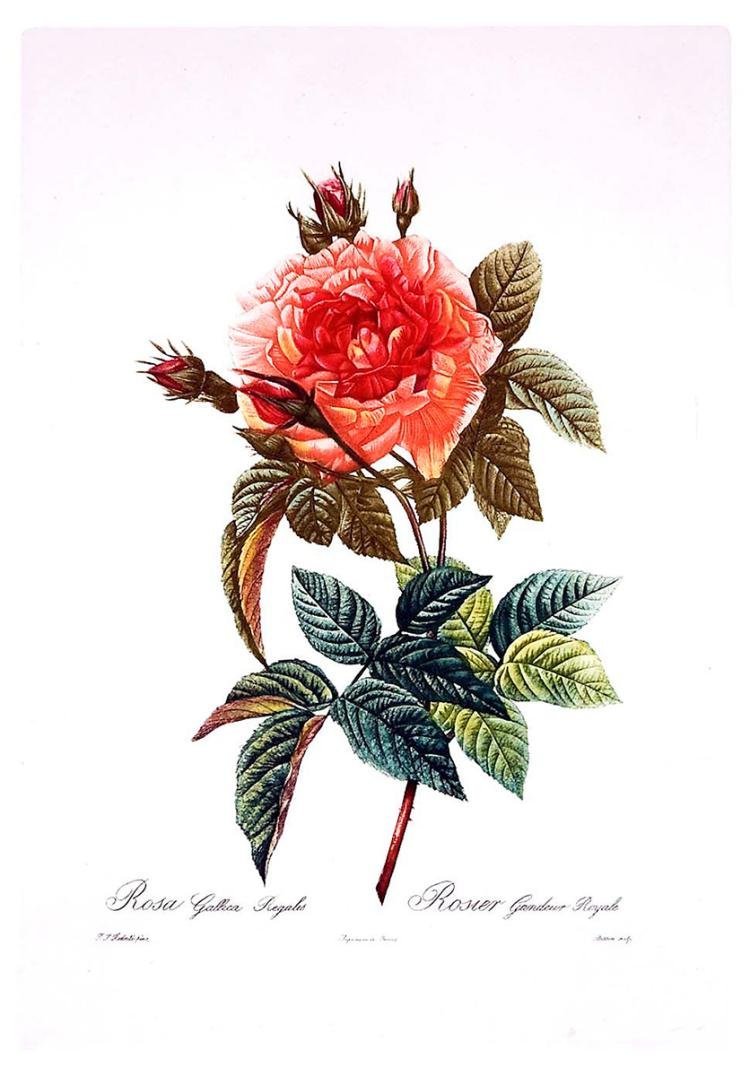 Rose, Rosa Gattica Regalis