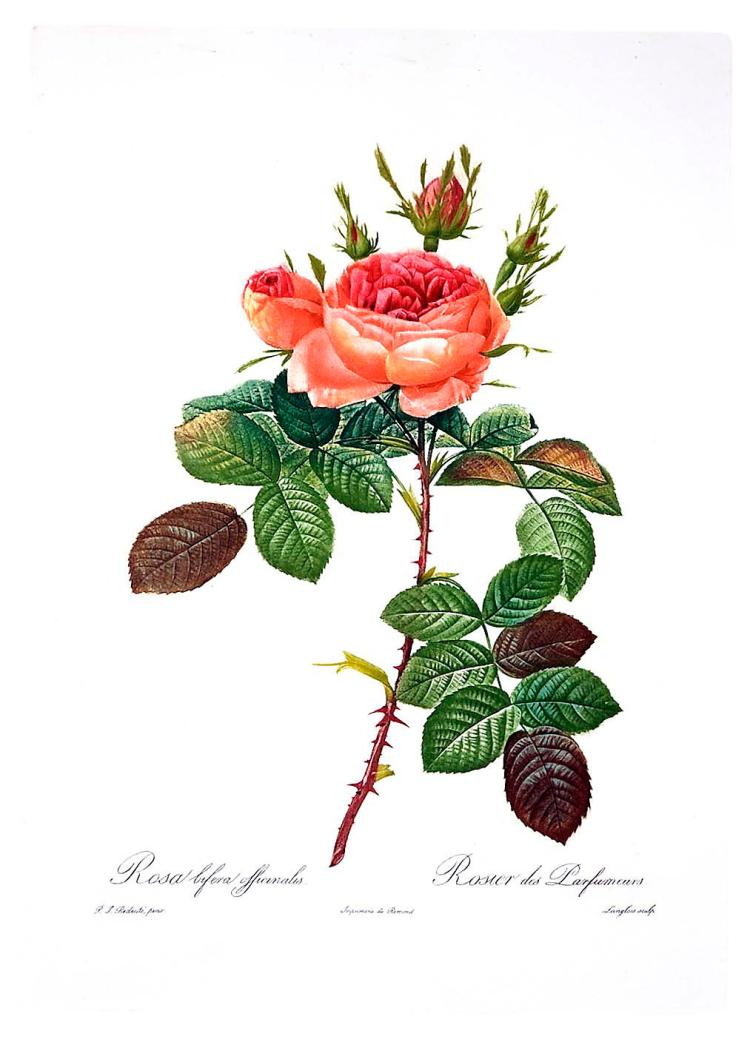 Rose, Rosa Bifera Officinalis