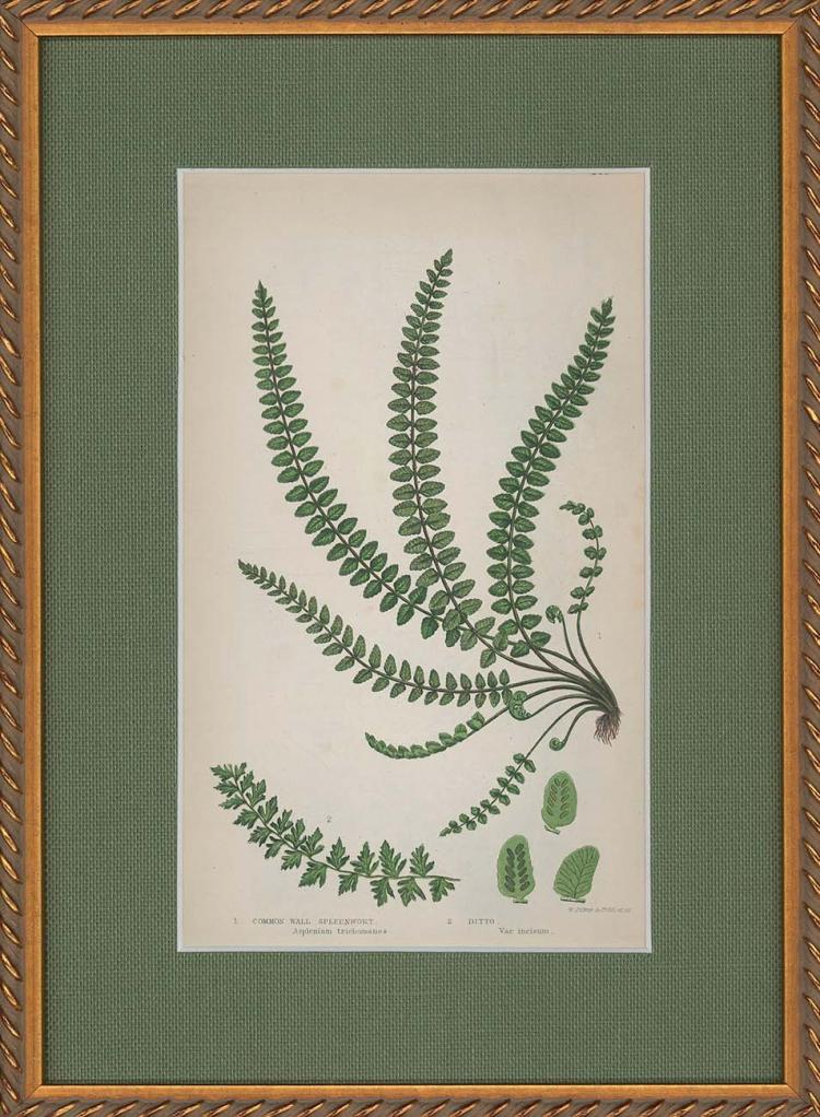 Common Wall Spleenwort