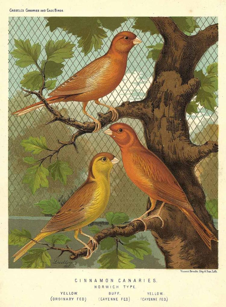 Three Cinnamon Canaries