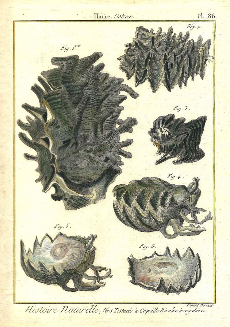 18th c Six Shells Engraving