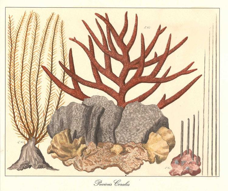 18-c Engraving of Precious Corals