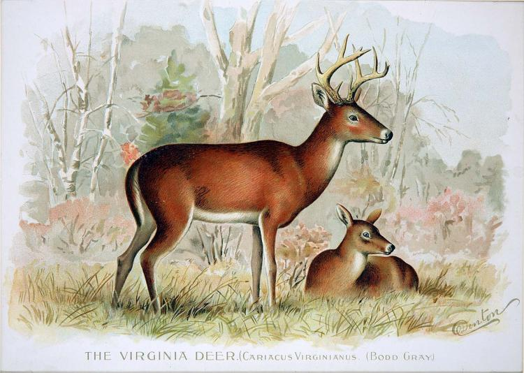 The Virginia Deer by Sherman Denton