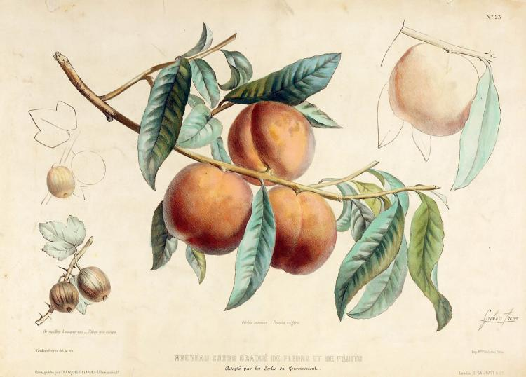 C. 1850 Gorgeous French Peaches