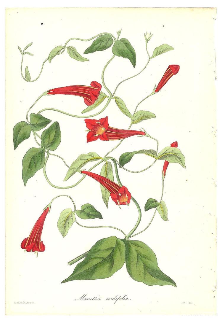 Maneltia Cordifolia from Paxton's