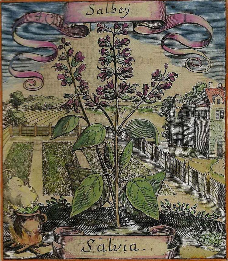 Salbey (Salvia) Print