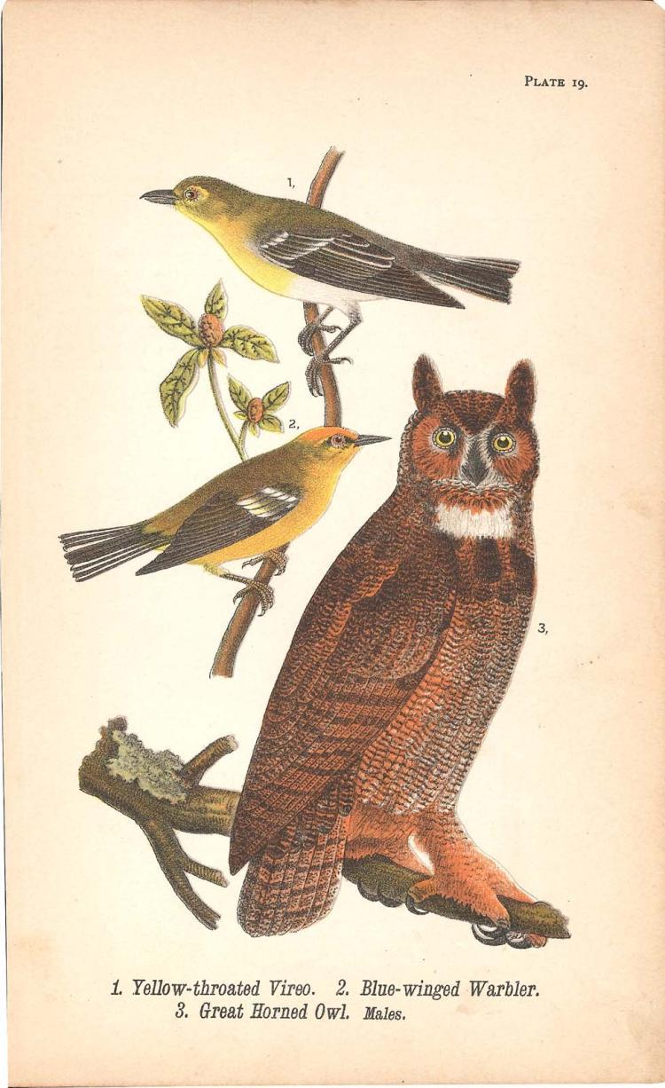 Owl, Vireo and Warbler