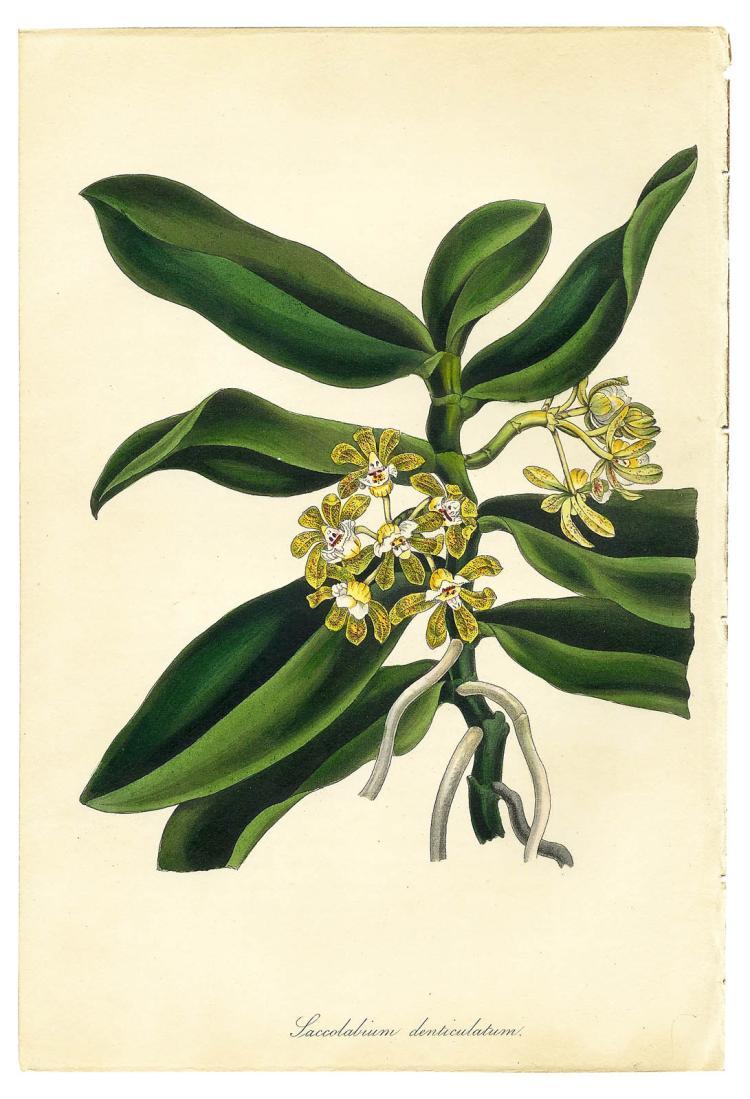 Saccolabium Denticulatum