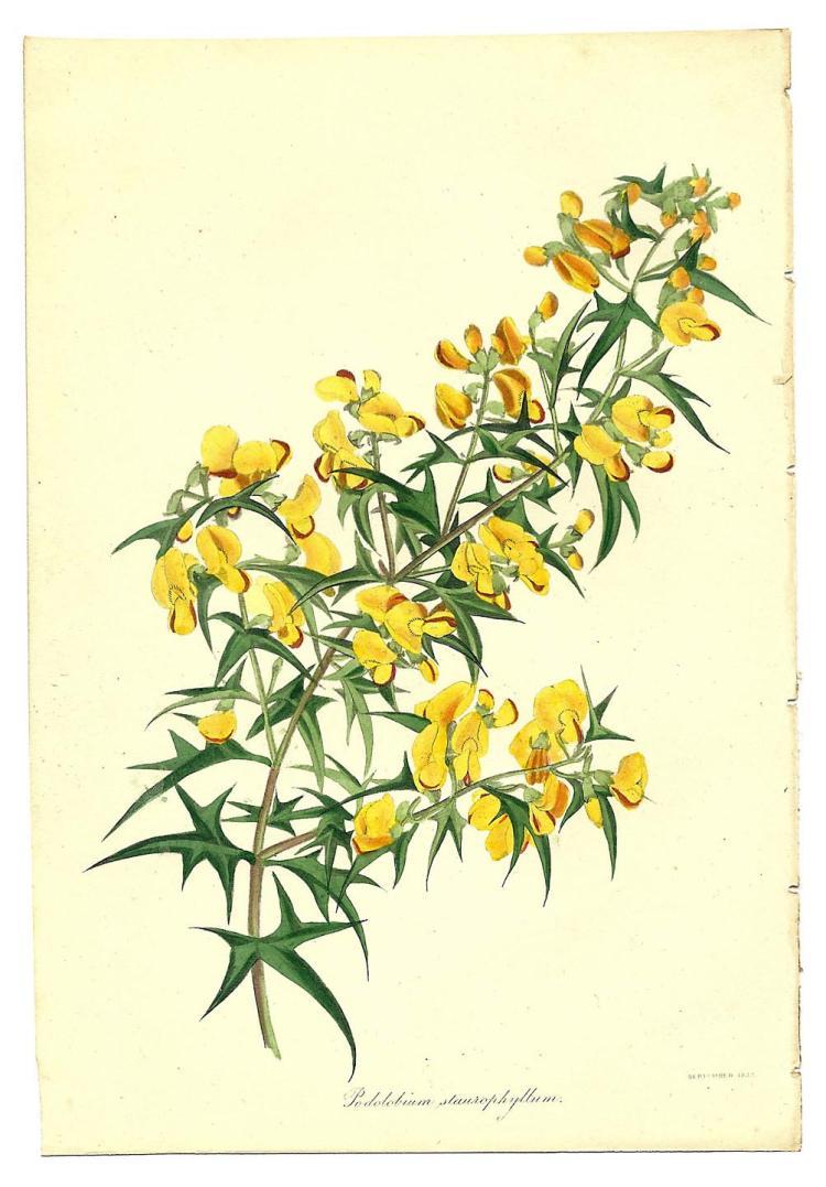 Podolobium Staurophyllum