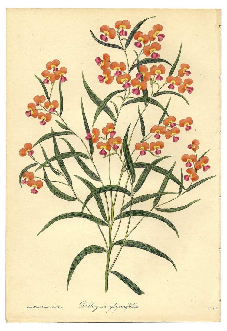 Dilluynia Glycinifolia