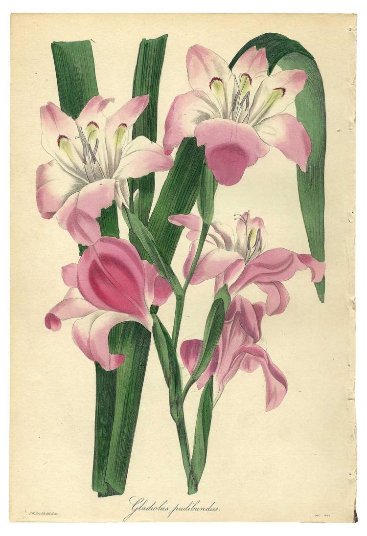 Gladiolus Pudibundus