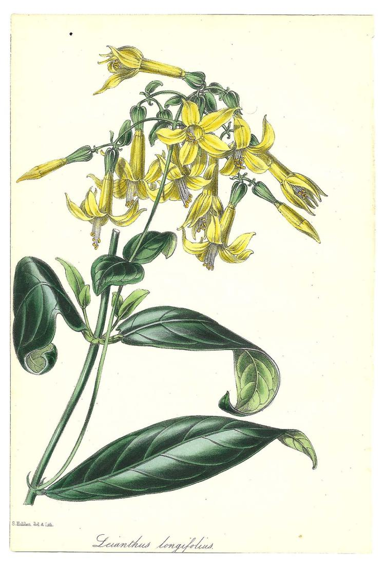 Leianthus Longifolius