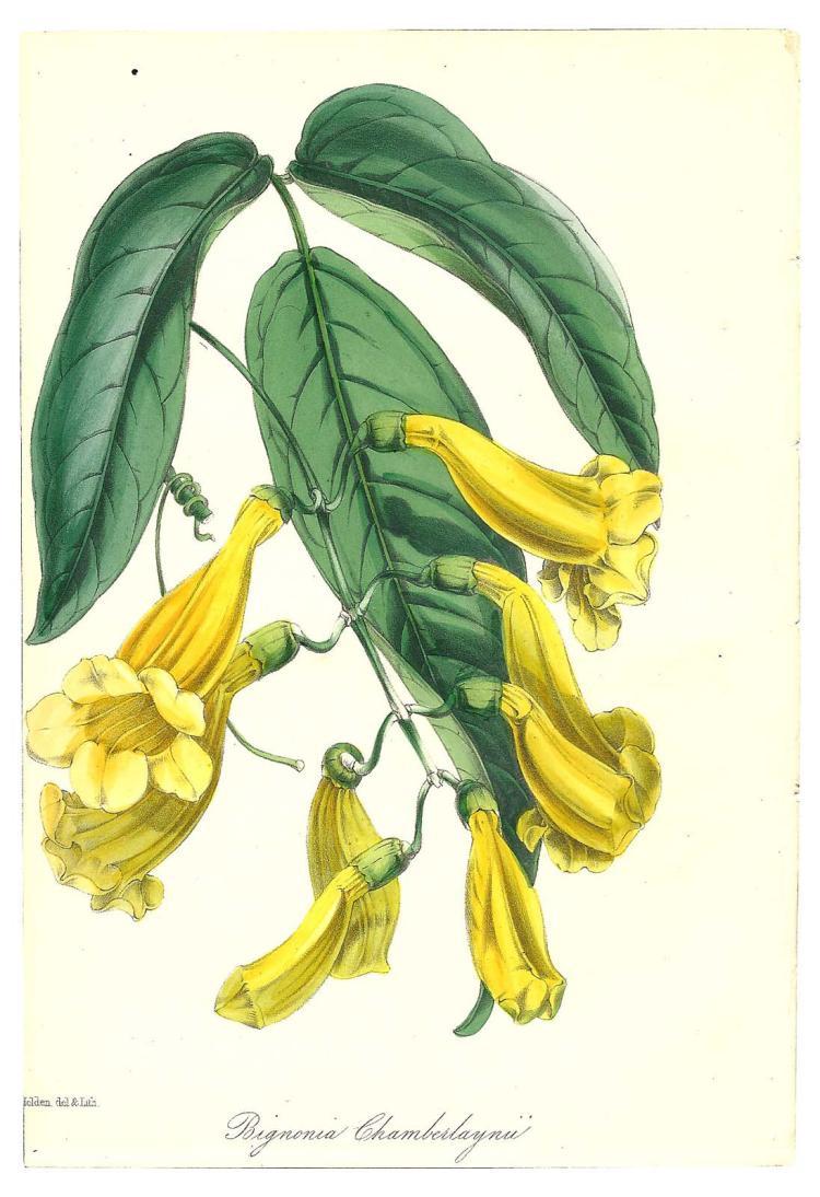 Bignonia Chamberlaynii