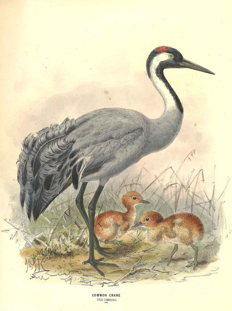 Mother Crane with Chicks