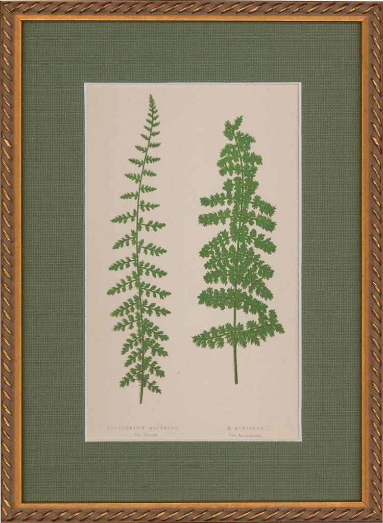 Polypodium Alpestre /P Alpestre Ferns