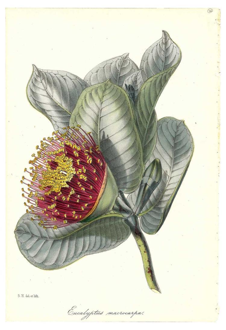Eucalyptus Macrocarpa