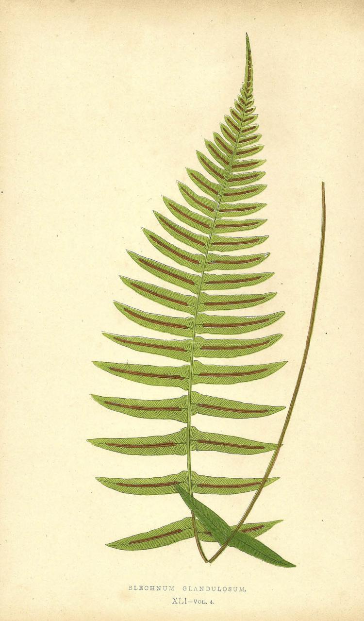 Blechnum Glandulosum, 1867