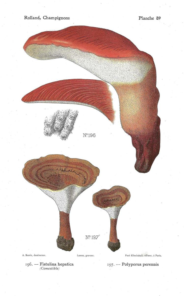 Fistulina Hepatica & Others, 1906