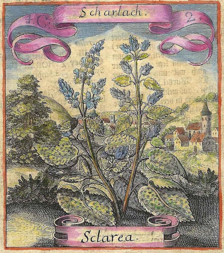 Scharlach (Salvia Sclarea)