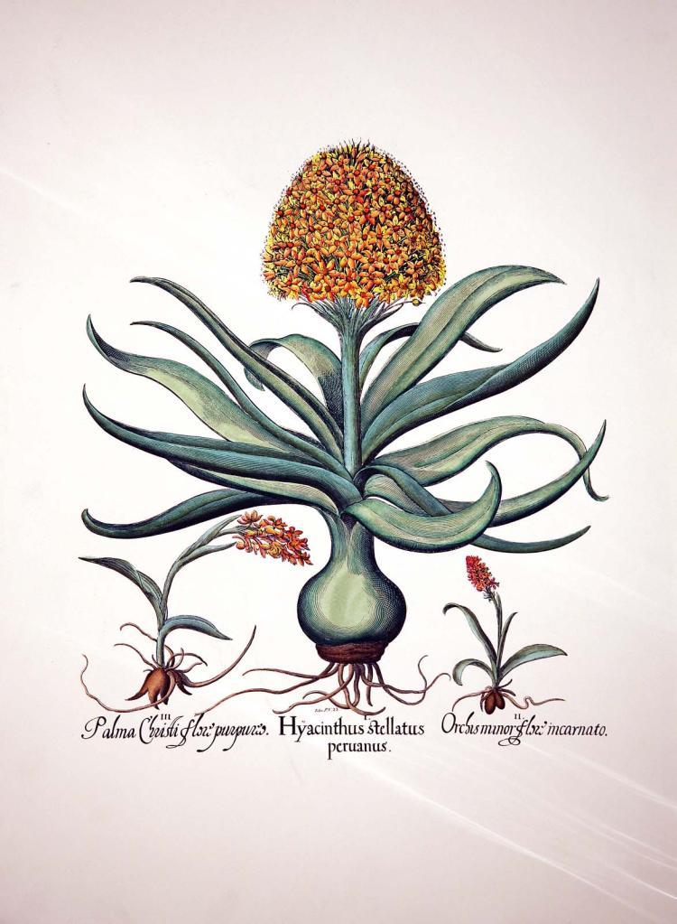 Hyacinthus Stellatus Peruanus