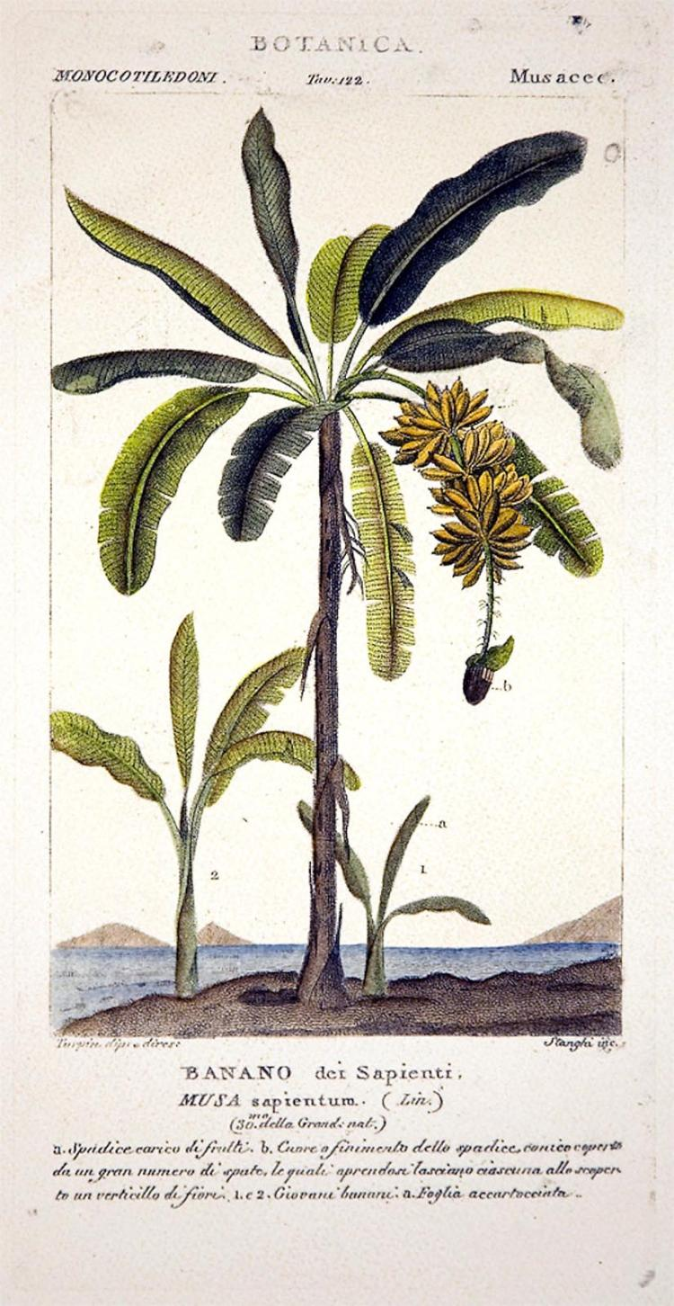 Banana Tree & Tropical Flora