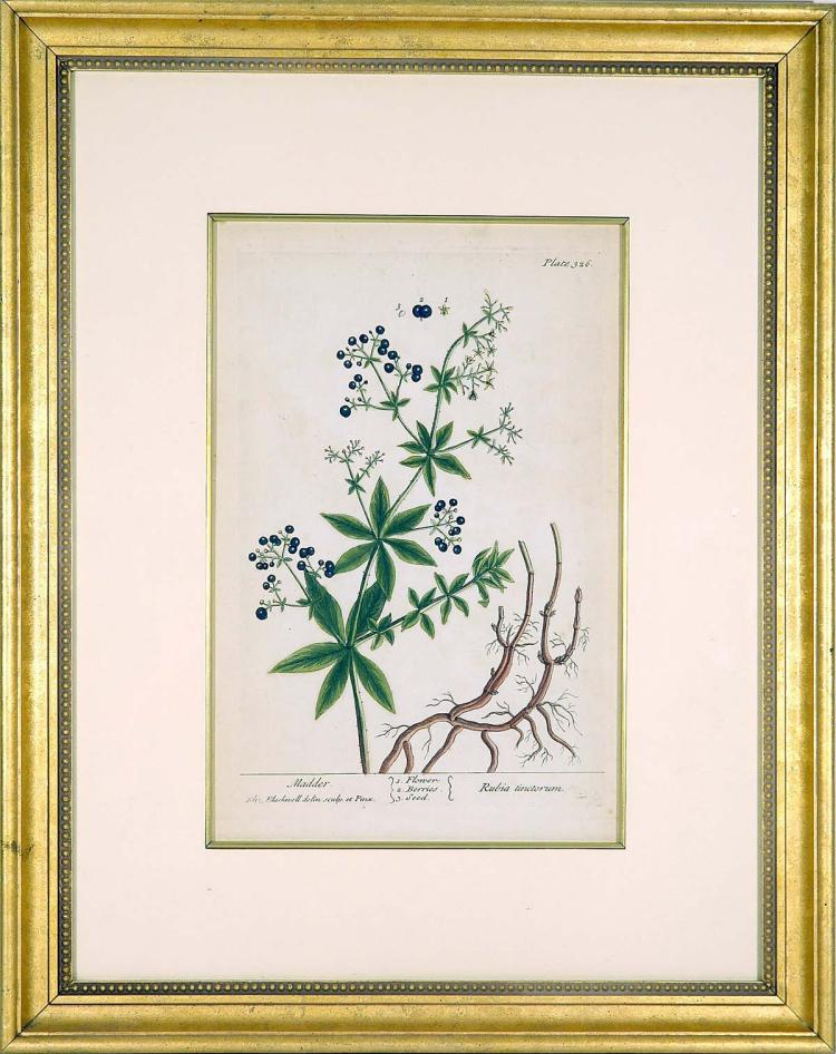 Rubia Tinctorum by Elizabeth Blackwell