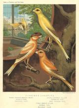 Five Cinnamon Canaries