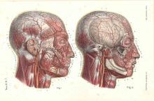 19th Century Anatomy of the Human Head