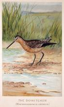 The Dowitcher