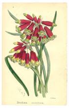 Brodiaea Coccinea