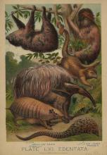 Anteaters, Armadillos & More