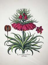 Corona Imperialis Florum