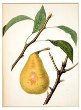 Bonne Des Zees Pear