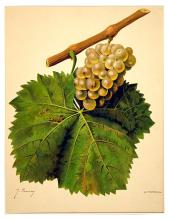 Yellow Grapes on the Vine