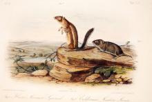 Marmot & California Meadow Mouse