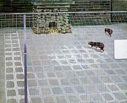 GILLES AILLAUD (1928-2005) - MANGOUSTES DERRIERE